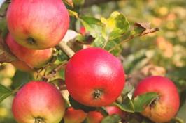 Apfelallergie ist nicht dasselbe wie Apfelunverträglichkeit