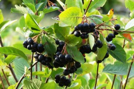 Superfood Aronia Beeren am Strauch